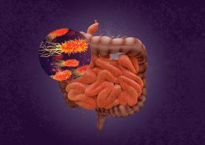 Las bacterias del intestino regulan el funcionamiento del sistema inmunitario en todo el organismo. / CSIC